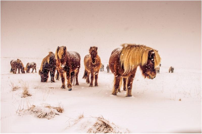 Icelandic Horses. Por Nick Kontostavlakis.