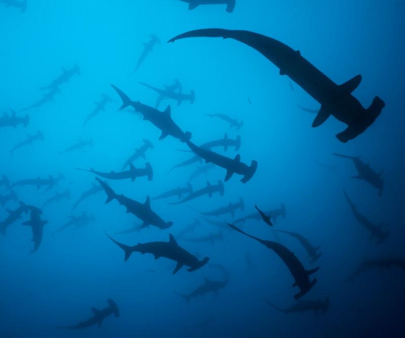Bajo las aguas de esta isla es posible cruzarse con el tiburón martillo y otras especies que cautivaron a Jacques Cousteau
