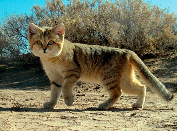 sand_cat_620x460