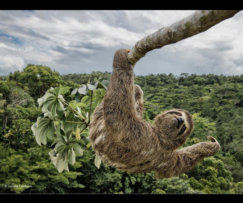 Oso perezoso pasando el rato. Autor: Luciano Candisani / Museo de Historia Natural de Londres.