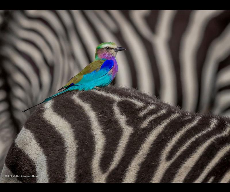 Jinete de rodillo. Autor: Lakshitha Karunarathna / Museo de Historia Natural de Londres.