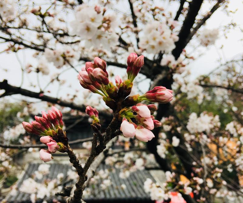 Los Cerezos En Flor Anuncian La Primavera En El Mundo