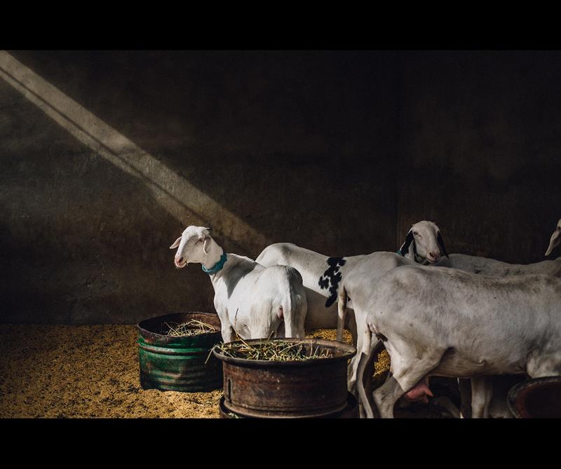 Categoría Food in the Field Ganador: 'Sheep in Dakar' de Guillaume Flandre (Reino Unido)