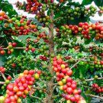 Colombia: Disfrute la calidad y perfil aromático del café colombiano en todos sus paisajes icónicos. Desde Bogotá hasta el famoso Eje Cafetero pruebe las múltiples variedades de sabores y texturas de la bebida o como le dice en el país: el tinto. Si desea visitar los cafetales y conocer a sus caficultores, vaya al Cauca, Santander, Huila y Antioquia.