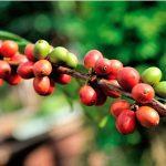 Ecuador: Orellana, Sucumbíos, Esmeraldas, Imbabura y Napo son algunas de las regiones en donde encontrará los cafetales de calidad y con técnicas modernas de cultivo que permite una mayor productividad con granos de café Arábica (Arabia) y Robusta (África).