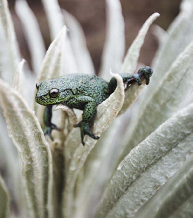 En el páramo es posible encontrar una gran diversidad de anfibios.