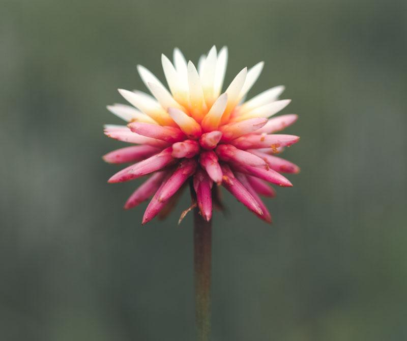 Flor de inírida, Guainía