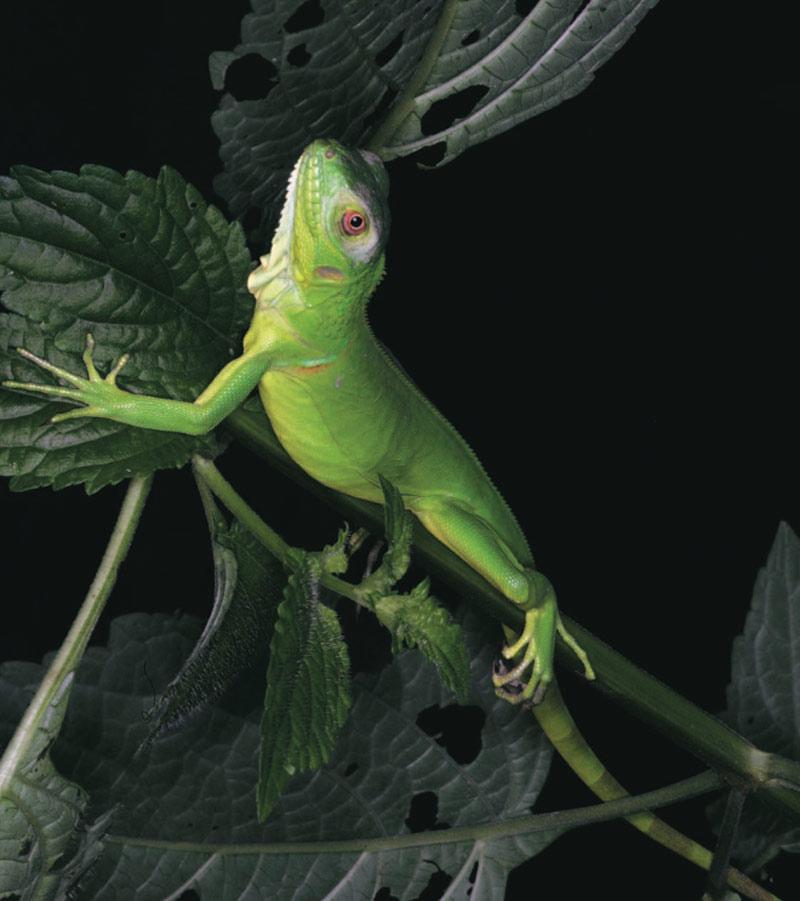 iguana de Colombia
