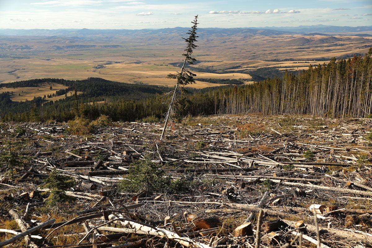 bosque Montana