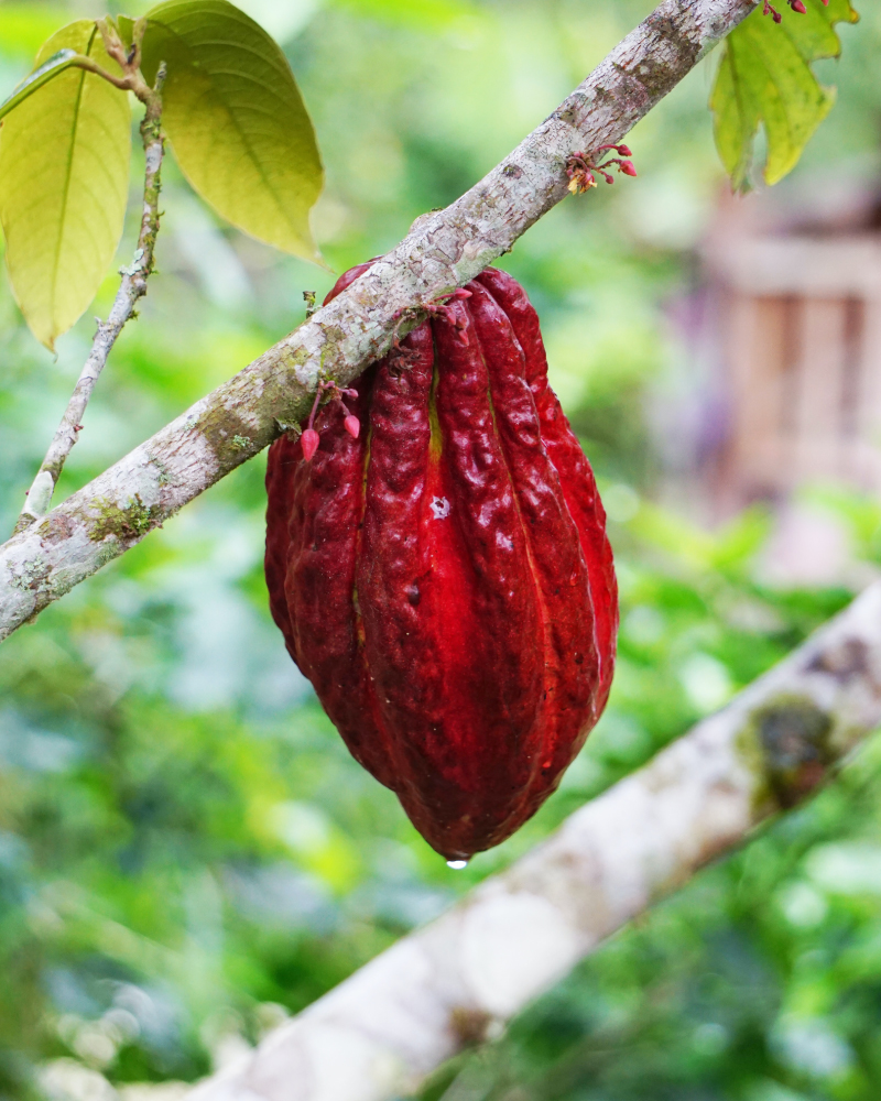 Cacao Ruby