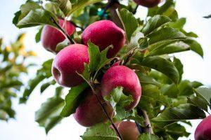 Nuevas manzanas